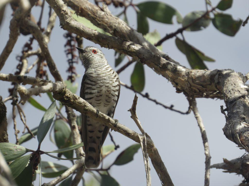 アカメテリカッコウLittle Bronze Cuckoo