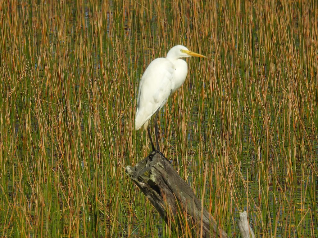 チュウダイサギEastern great egret