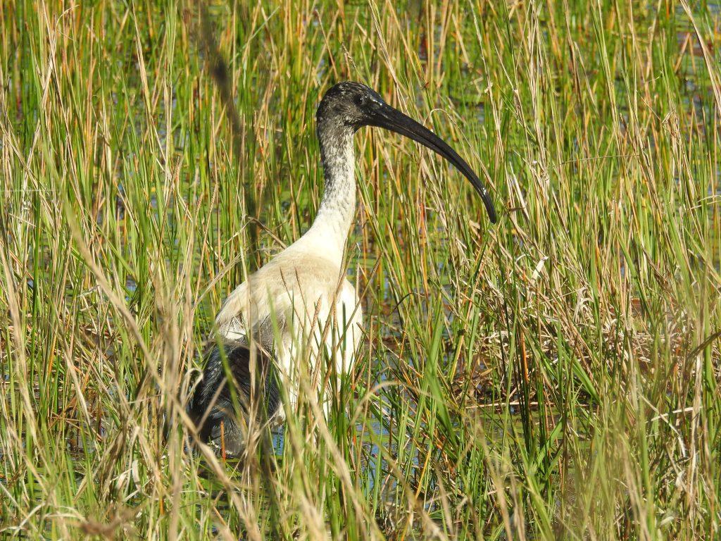 オーストラリアクロトキAustralian white ibis