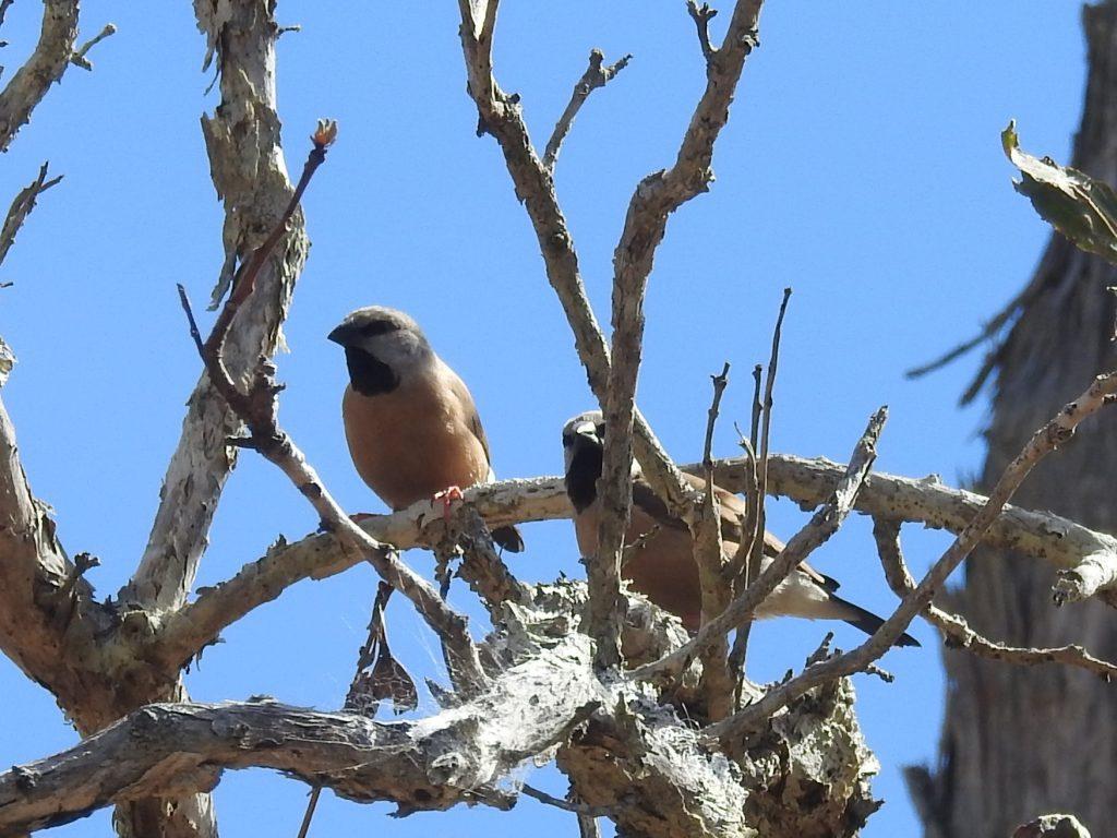 Black-throated Finch(キンセイチョウ)