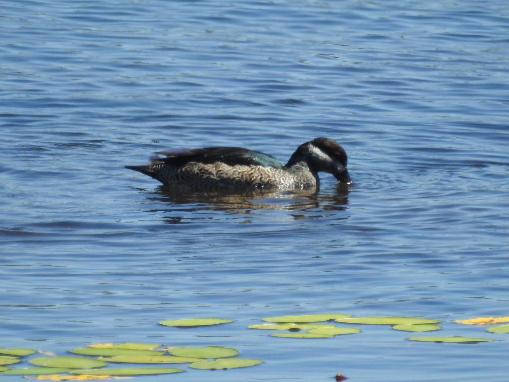 アオマメガンgreen pygmy-goose