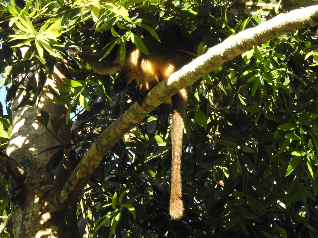 木登りカンガルー1