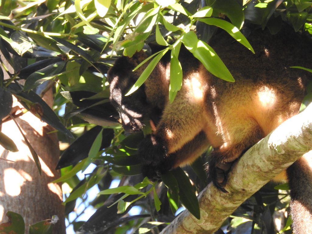 木登りカンガルー2