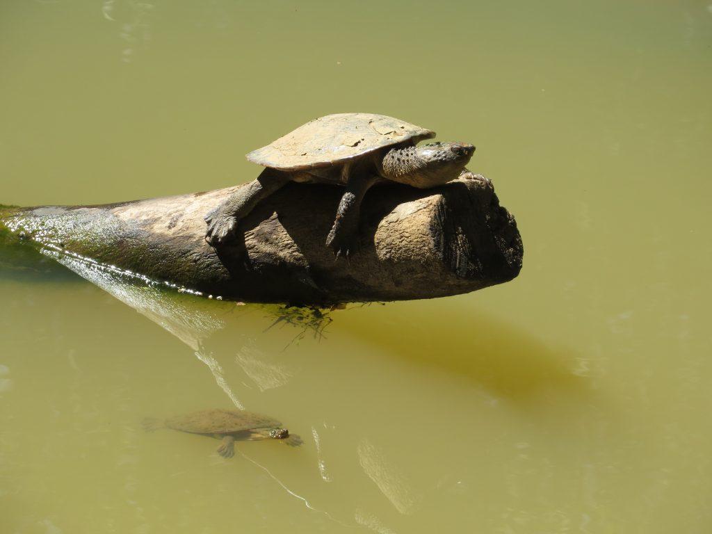ピーターソンクリークの亀