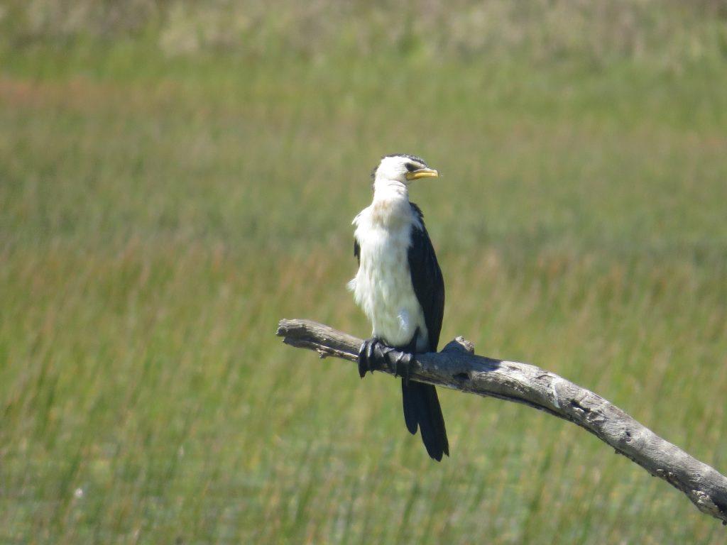 シロハラコビトウLittle Pied Cormorant