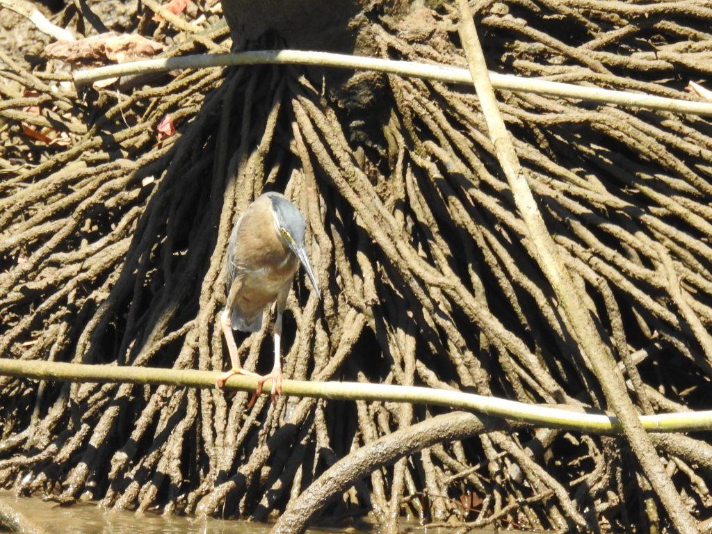 デインツリー川のサギ