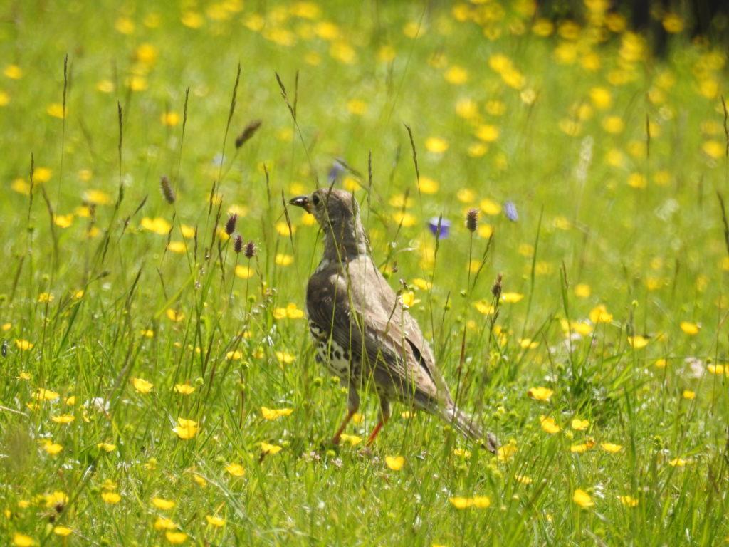 スイス国立公園Stabelchod花とヤドリギツグミ
