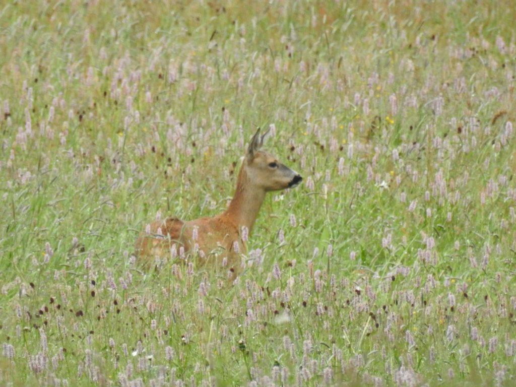 ホテル シェサ スプオンダ周辺の遊歩道で出会った鹿