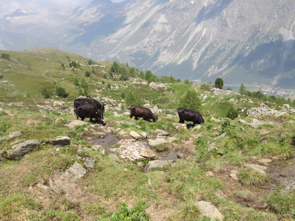 水を飲みに来た牛たち