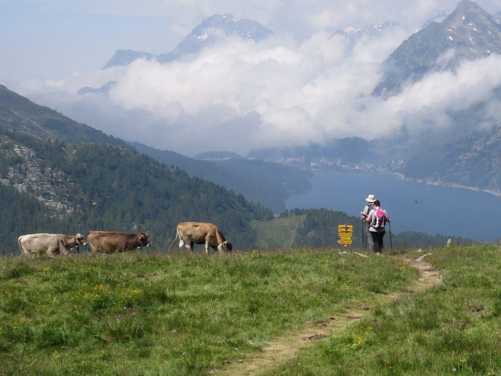 牛たちの集う丘を横切る