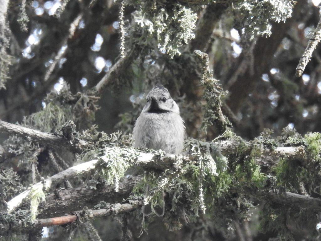 カンムリガラEuropean crested tit