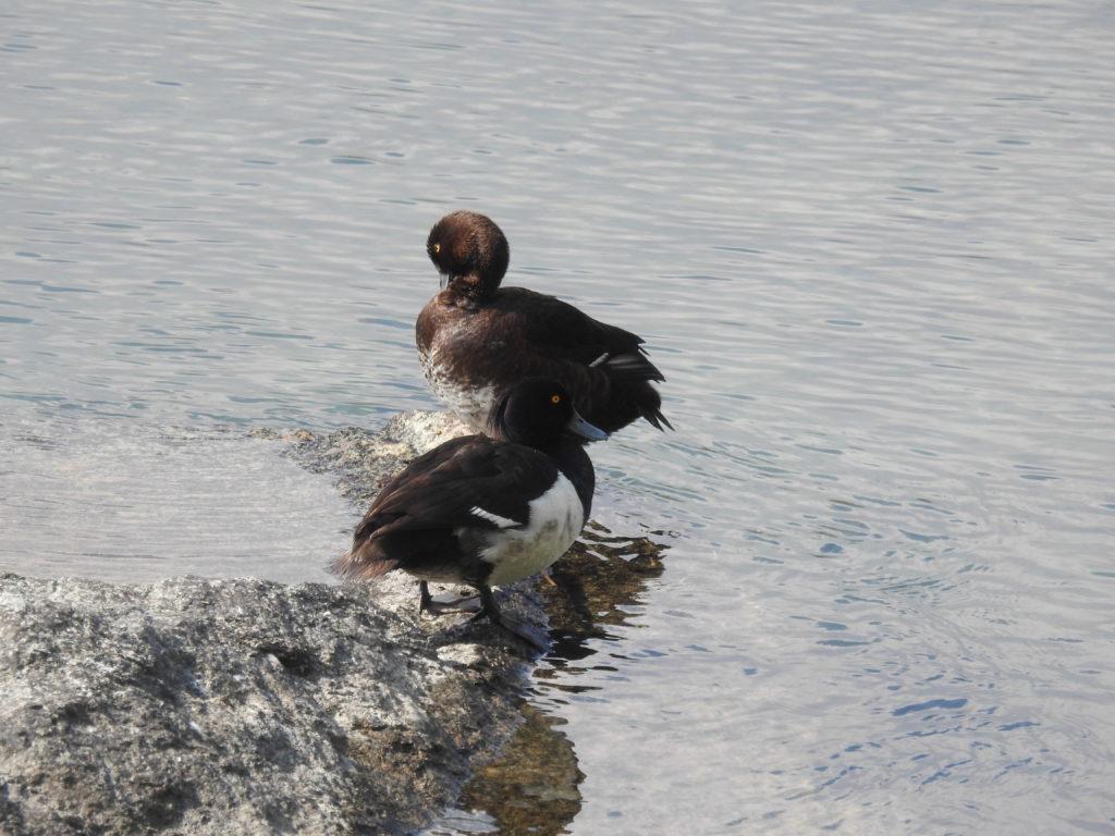 キンクロハジロ Tufted duck
