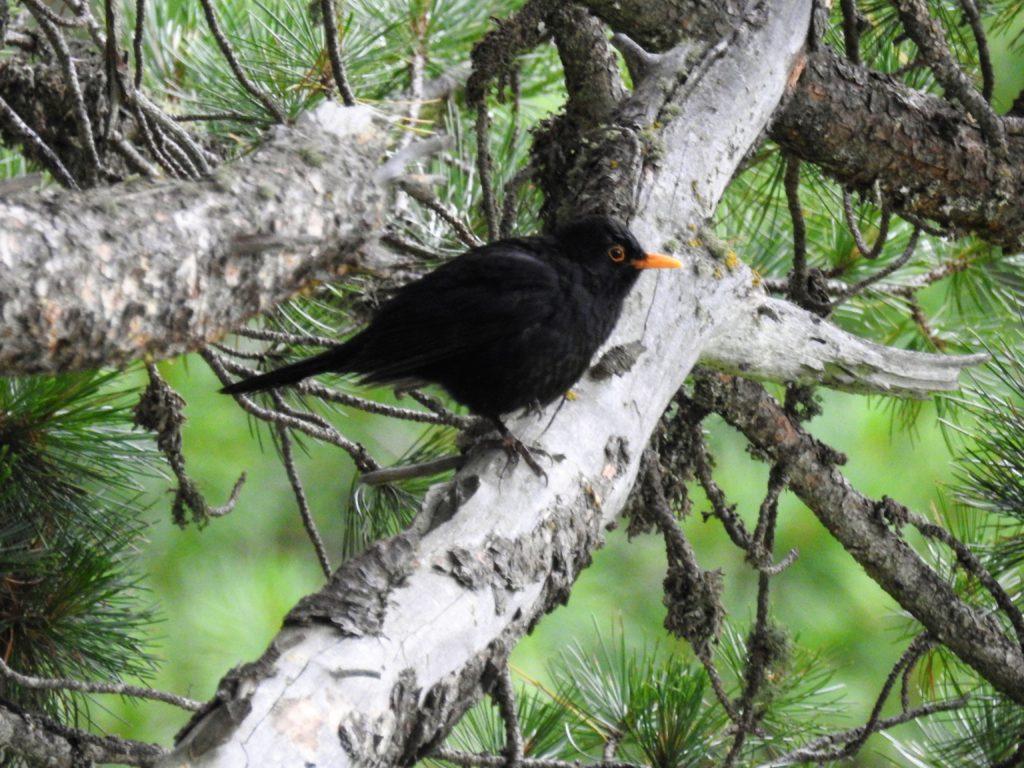 クロウタドリCommon blackbird