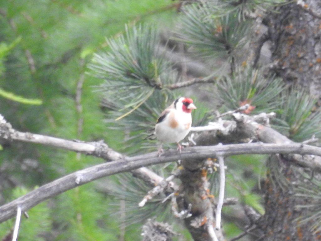 ゴシキヒワEuropean goldfinch