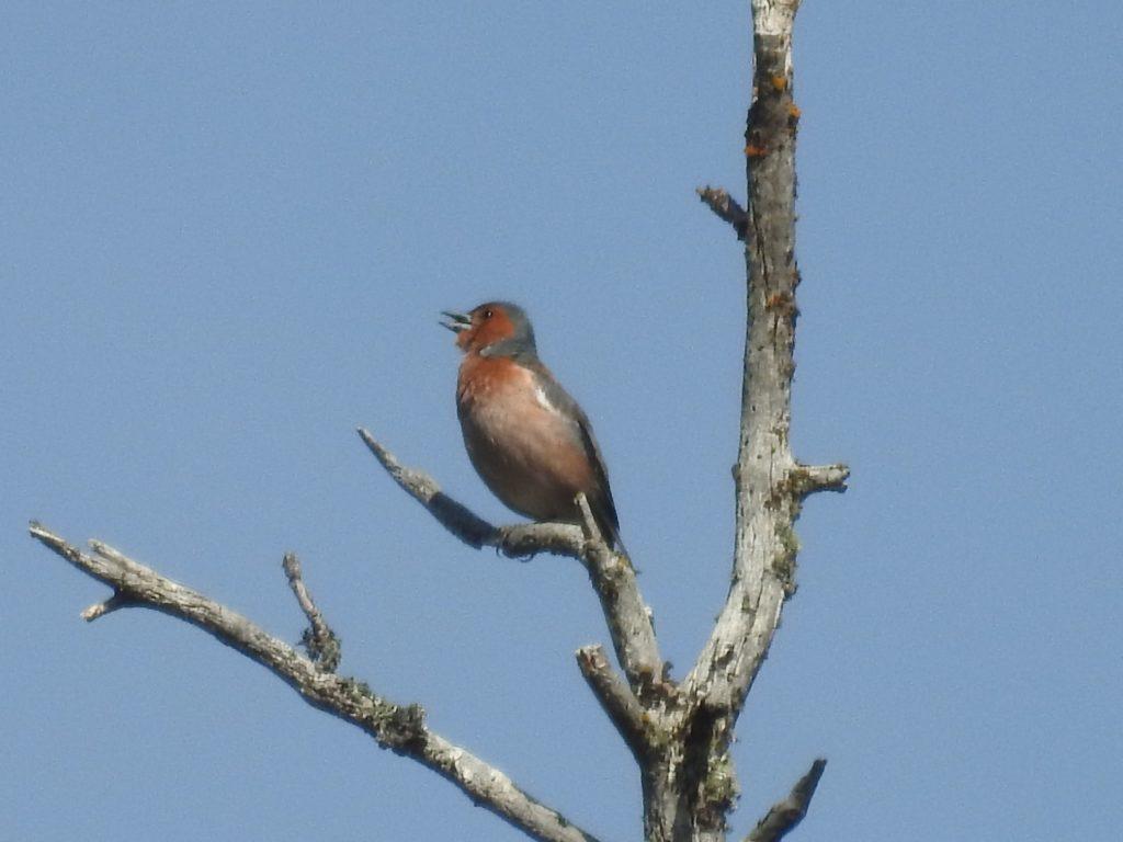 ズアオアトリ(オス) Common chaffinch
