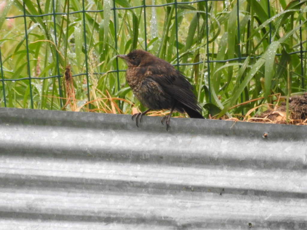 ヨーロッパコマドリ(幼鳥)Robin