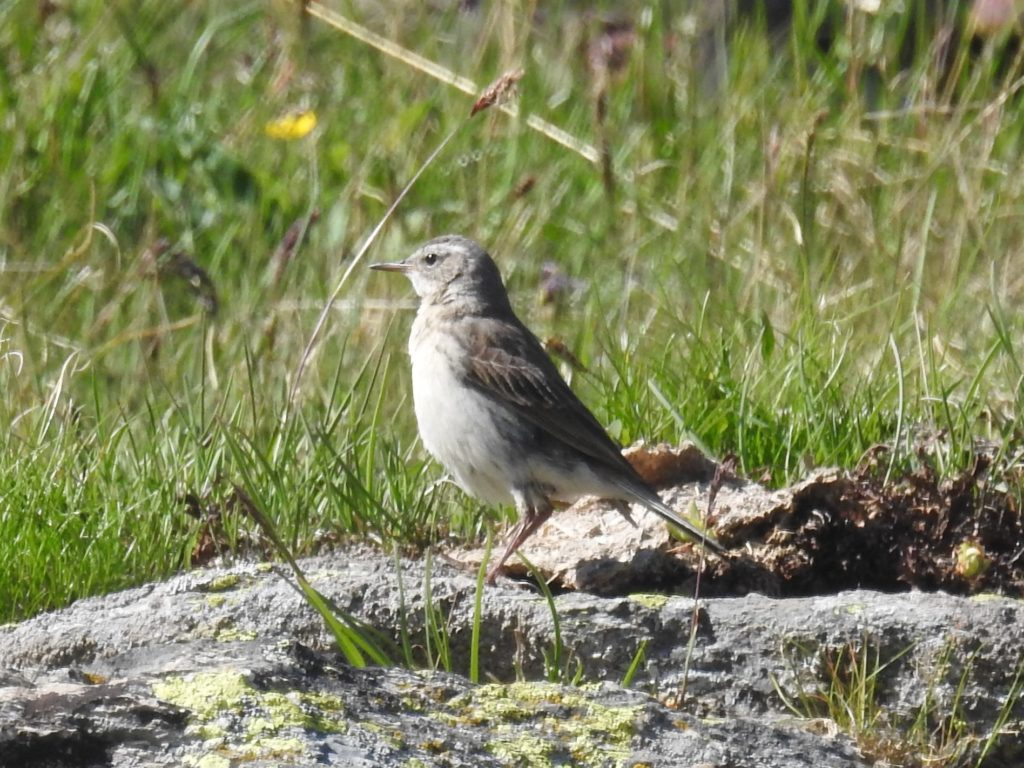 tnwny pipit または water pipit