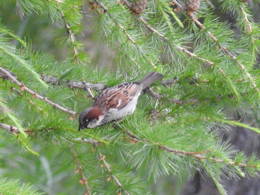 イエスズメ House Sparrow