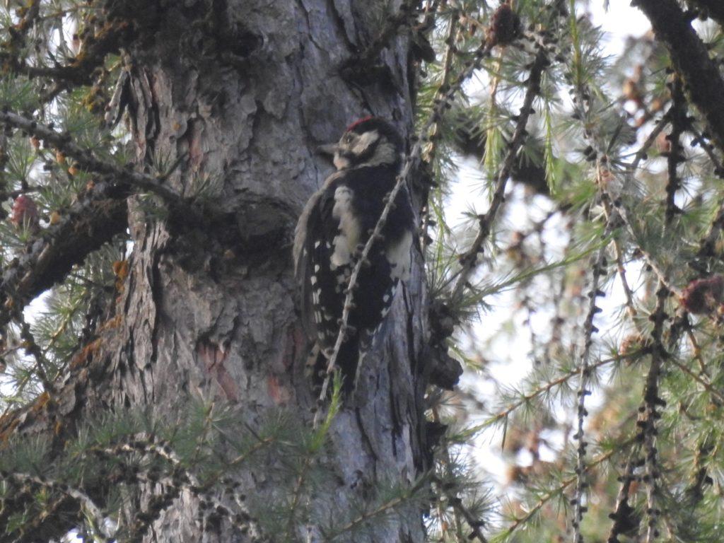 アカゲラ Greater spotted woodpecker